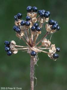 ramp-seeds: http://www.minnesotawildflowers.info/flower/wild-leek