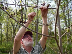 co-author Ken Mudge hand pollinating Paw Paw.