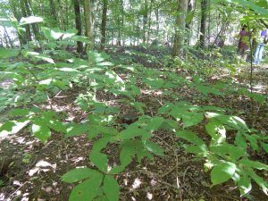 Natural habitat of paw paw  - a shade understory tree.