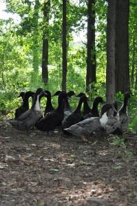 1.2_Duckswoods
